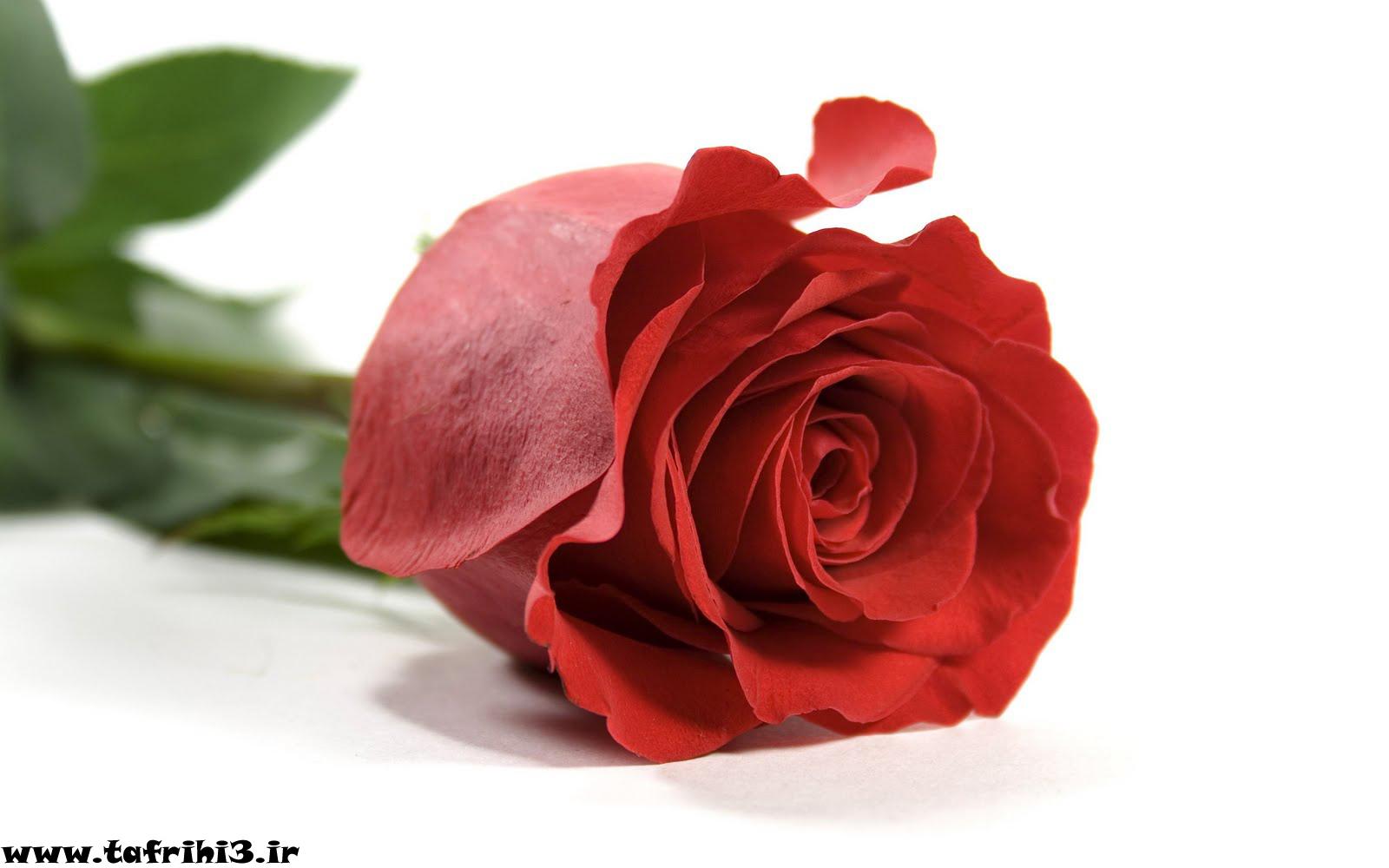 عکس های بسیار زیبا از گل رز قرمز