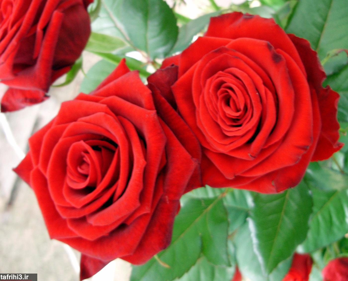 عکس های گل رز قرمز
