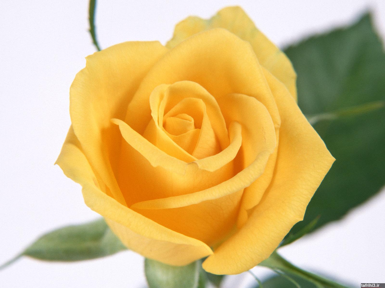 عکس با کیفیت از گل های رز